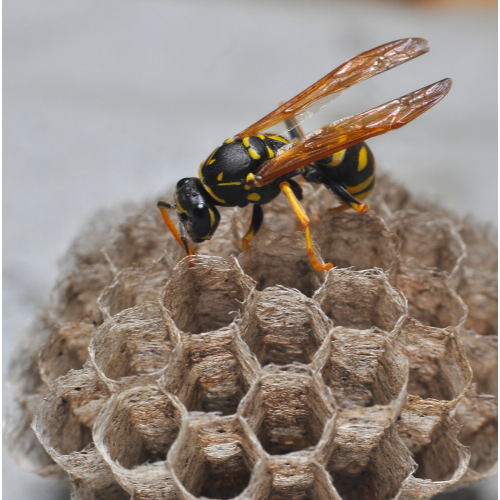 Wasp nest removal kensington